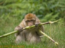 2007_08_Monkey_Forest_Trentham_024-2