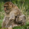 2008_08_Monkey_Forest_Trentham_059-10